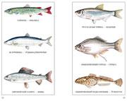 Рыбы - Чорыгъёс - Разворот